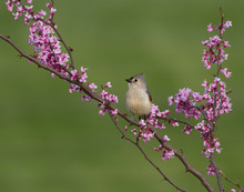 Tufted Titmouse Perched On Redbud Branch