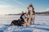 Fototapeta Zwierzęta - Awesome siberian husky dogs portrait on snow. Winter with blue sky.