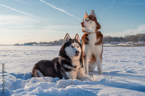 Vászonkép Awesome siberian husky dogs portrait on snow