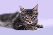 Black Tabby Manx Kitten Laying...