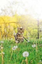 Beautiful Tabby Striped Cat With Green Yellow Eyes Sitting In Grass Outside. Animal Domestic Feline Pet Walking Hiding On Flower Field Meadow Outdoors On Summer Day.