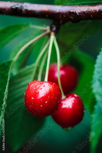 Canvastavla Closeup of ripe red cherry berries on tree among green leaves