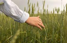 Hand Of Man In Wheat Field