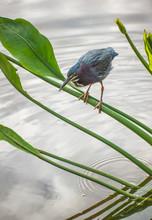 Green Heron Perching On Branch...