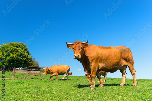Photo sur Toile Amsterdam French landscape with brown cows