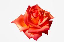 Large Pink Rose On White Isola...