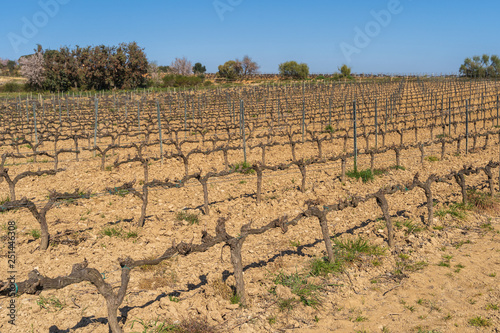 Fotografia  Vineyards during the winter in the Penedes region, Catalonia, Spain