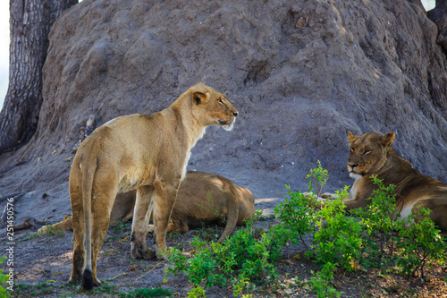 Fotografía  Small Pride of Lions next to a large tree trunk taking shelter from the african sun