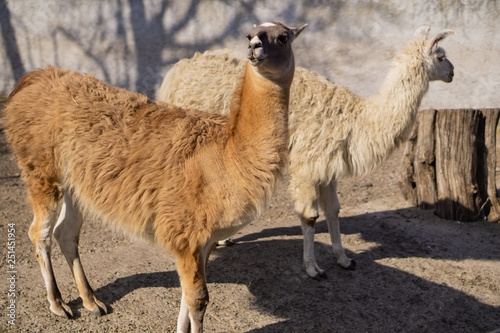 Two lamas. Beautiful animals in the city park on a sunny day.
