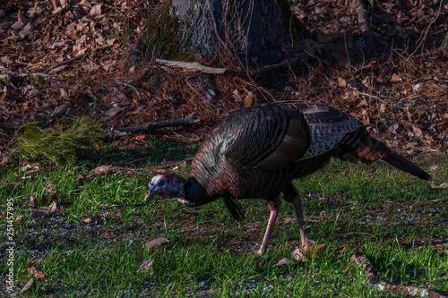 Fényképezés  Wild turkey in a field