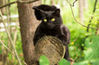 Two beautiful bombay black cats sits on a log in spring, summer green forest. Outdoor, nature