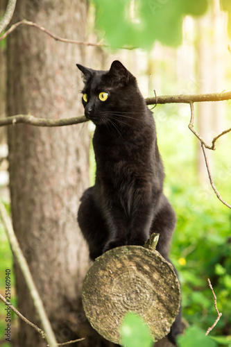 Obraz na płótnie Beautiful bombay black cat with yellow eyes and attentive look sits on a log in spring, summer forest in sunlight