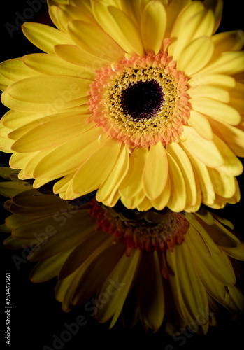 Single Yellow Gerbera with Reflection