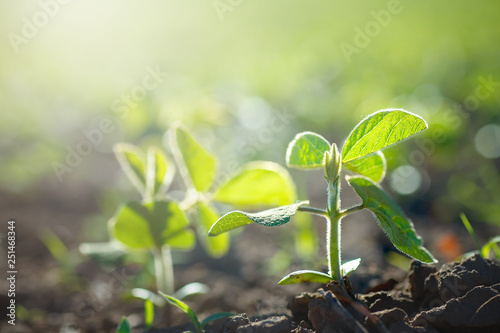 Obraz Concept of earth day. Glycine max, soybean, soya bean sprout growing soybeans on an industrial scale. Products for vegetarians. Agricultural soy plantation on sunny day. - fototapety do salonu