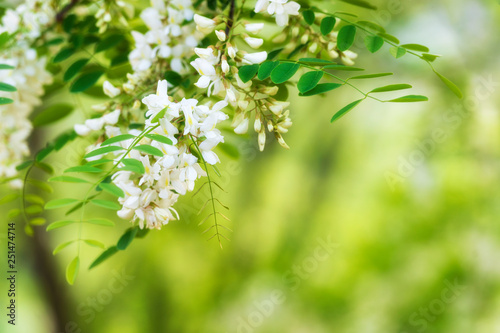 Blooming acacia background Canvas Print