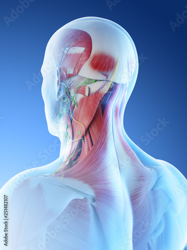 Photo 3d rendered illustration of a mans muscular anatomy of the head and neck