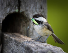 Early Bird Gets The Worm, Chickadee Bird With Green Worm