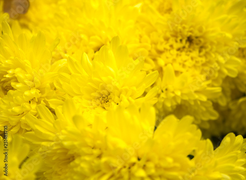 Fototapety, obrazy: Close up of yellow flower for decorated wall paper