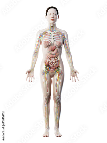 Fotomural 3d rendered illustration of a females anatomy
