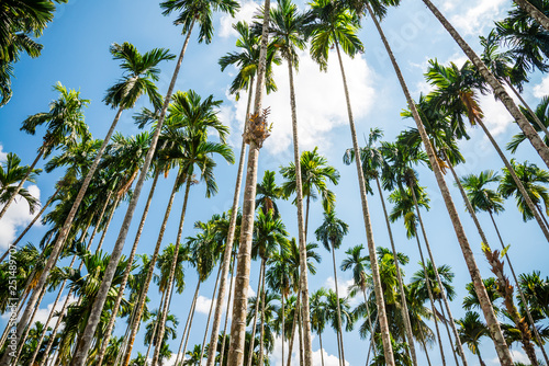 Vászonkép Areca nut or Betel Nuts palm tree with blue sky and clouds background in Thailand