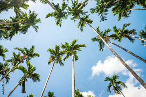 Photo Areca nut or Betel Nuts palm tree with blue sky and clouds background in Thailand