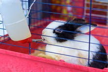 Rabbit Drinking Water From Feeding Water Bottle.The Bunny Inside Cage For Small Pets.