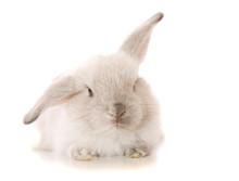 Baby Lop Eared Rabbit In Studi...