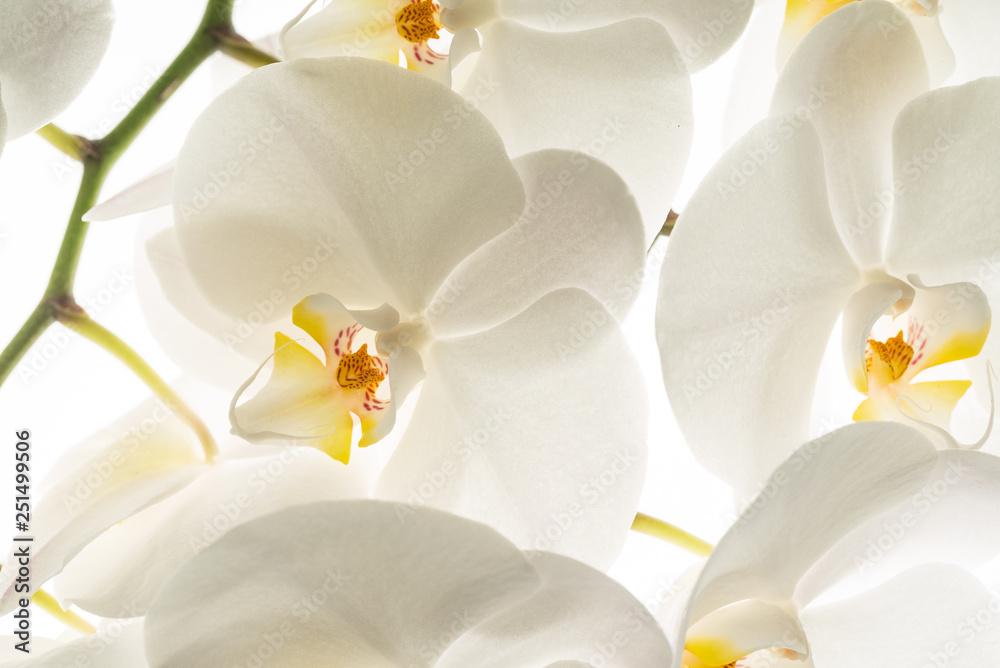 Fototapety, obrazy: white orchid flowers, macro