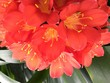 canvas print picture - Close up of blossom of bush lily (Clivia miniata), South Africa