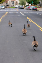 Adult Canada Geese Gaggle Mean...