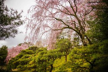Fototapeta Ogrody Cherry blossom at garden in Kyoto, Japan