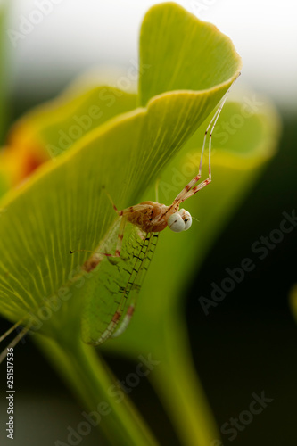 Fotografie, Obraz  flying insect on ginko leaf