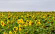 canvas print picture - Sunflower field in the orange freestate province of South Africa