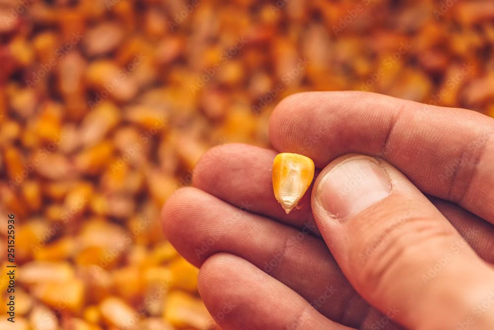 Fototapety, obrazy: Single corn seed kernel in farmer's hand