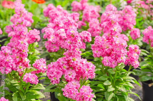 Obraz Hoary stock or matthiola incana flower with green leaves in the garden - fototapety do salonu