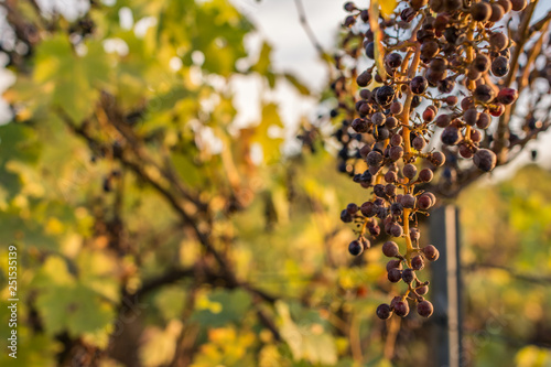 Climate change ruins the grape harvest due to drought Canvas-taulu