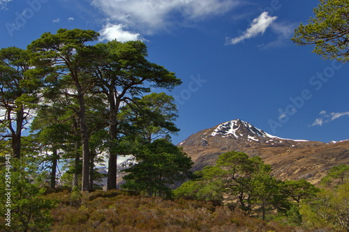 Fotografie, Obraz  One of last pieces of caledonian forest,old huge pine and forestless mountain, S