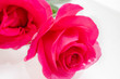 canvas print picture - Big beautiful pink roses lie in the water