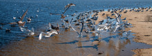 Flock Of Seagulls [Laridae] In...