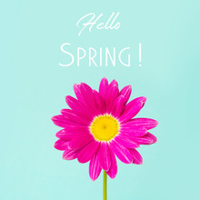 Pink Pyrethrum Or Daisy Flower On Blue. Hello Spring.