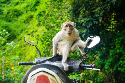 Fotografija  macaco sul motorino tailandia krabi
