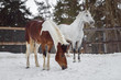 Domestic horses of different colors walking in the snow paddock in winter