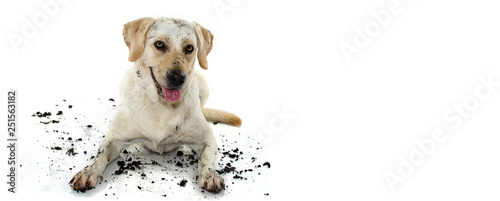 Photo  FUNNY DIRTY MIXEDBRED GOLDEN OR LABRADOR RETRIEVER AND MASTIFF DOG, AFTER PLAY IN A MUD PUDDLE, MAKING GUILTY FACE