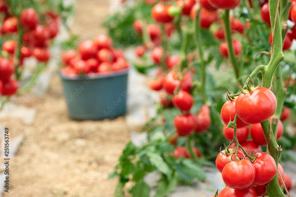 Fototapety, obrazy: Ripe red tomatoes in the garden. Vegetable harvest on organic food farm. Greenhouse tomato production. Cultivation of healthy vegetables.