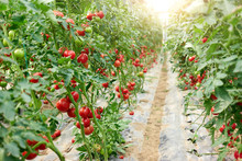 Rows Of Ripe Homegrown Tomatoes Before Harvest. Fresh Tomatoes Ripening In Commercial Greenhouse. Organic Tomato Farming.