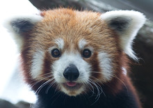 Portrait Of Red Panda, Ailurus Fulgens, Looking Directly At You.