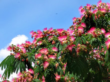 Flowers Of Persian Silk Tree Or Pink Silk Tree (Albizia Julibrissin) In Bloom