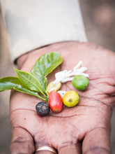 Four Stages Of A Coffee Cherry (green, Yellow, Red And Black) Along With Fresh Coffee Bean, Flower And Leaves Held By A Guide On A Plantation In Arusha Region, Tanzania, Africa.