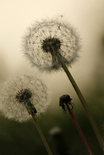Close Up Of Dandelion Seed Puffs With A Blurred Background.