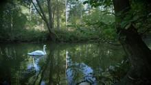 Beautiful Swan Swimming On Pond
